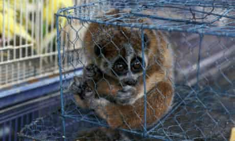 Vietnam Hanoi Slow loris for sale