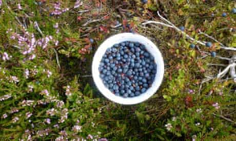 Berries : some winberries (bilberries) on the welsh hills