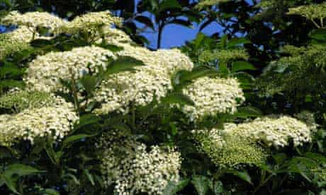 Berries : Elder flowers in full bloom