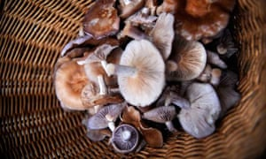 Berries : A basket of Wood Blewit mushrooms collected in Gwent woodland, Wales