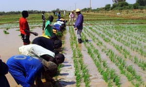 MDG : China in Africa : Rice seeding transplant training by Chinese experts in Senegal