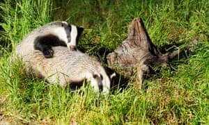 Well grown Badger Cub playing with it's Mother in Scottish woodland