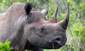 Adam Welz NatureUp blog : A Black Rhinoceros in Phinda Private Game Reserve, South Africa