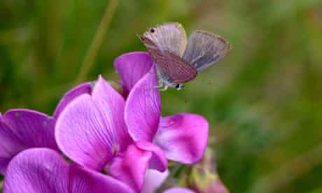 A male long-tailed blue butterfly