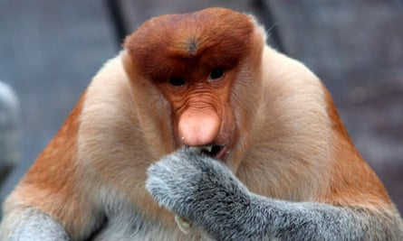 Ugly Animal Preservation Society : Big nosed proboscis monkey