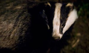 The British Wildlife Photography Awards 2013 : badger