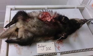 Badger 102 killed during badger cull