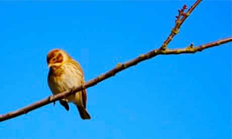 Country Diary : Female yellowhammer on hedgerow tree in sunshine