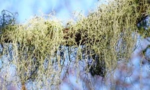 Country Diary : Usnea ceratina  Bolderwood Hill, New Forest