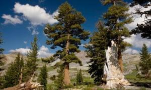 Big trees :  western white pine in California's Sierra Nevada