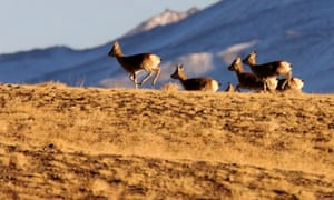A flock of Tibetan antelope or chiru endangered due to demand for luxurious wool called shatoosh
