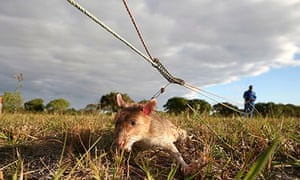 MDG : A rat sniffs out landmines in Mozambique