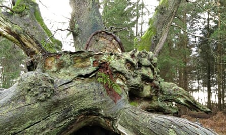 Country Diary : 1000-year-old oak at Savernake Forest called King of Limbs