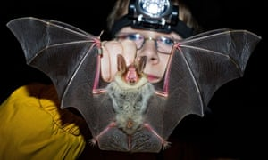 Greater mouse-eared bats count in Germany
