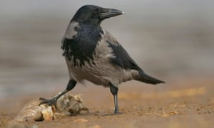 Country Diary : Hooded crow