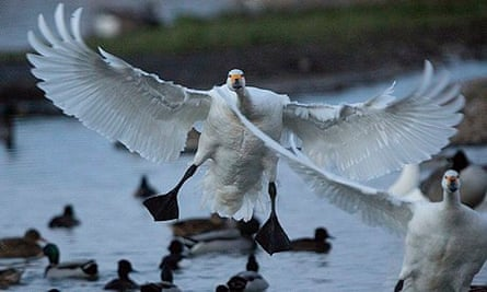 Winter wild weather : Bewick's Swans touch down at WWT Slimbridge in wild weather