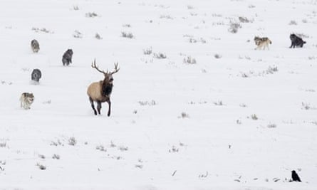 Carnivore extermination damaging ecosystems : Timber Wolf hunting American Elk, Yellowstone