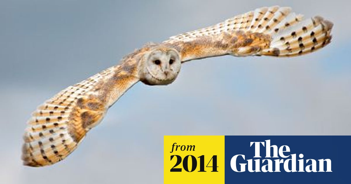 Barn Owls Suffer Worst Year On Record Birds The Guardian