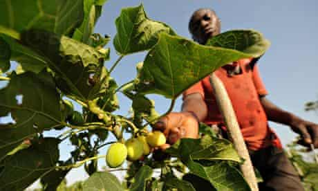 MDG : Biofuels in Ivory Coast