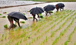 MDG paddy field in India