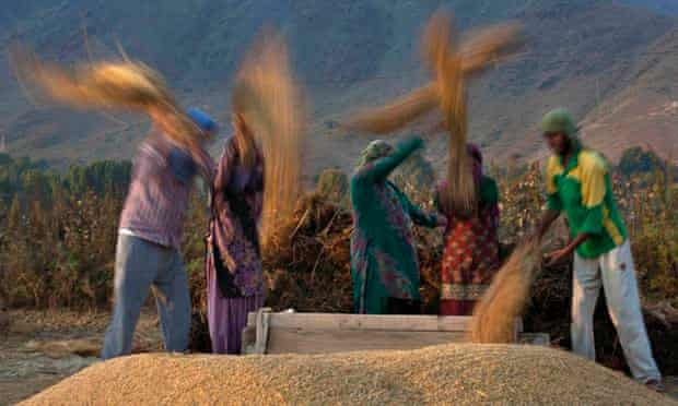 MDG Kashmiri villagers thresh rice