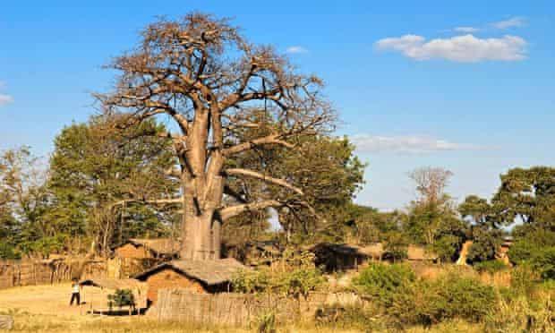 MDG Baobab trees