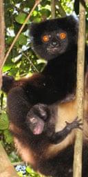 sifakas lemur
