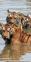 Captive-bred big cats await their ultimate fate at the Xiongsen farm