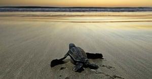 A leatherback turtle hatchling