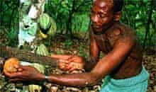 Harvesting cocoa