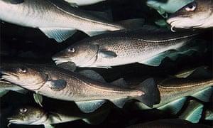 Fish: cod