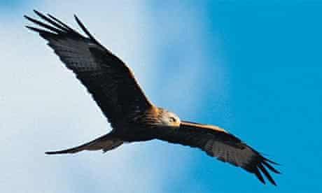 Birds of prey: a red kite