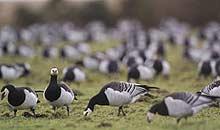 Geese at Caerlaverock Wetland Centre