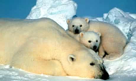 Polar bears in the Arctic National Wildlife Refuge in Alaska