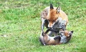 foxes in a garden