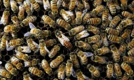 A honeybee colony