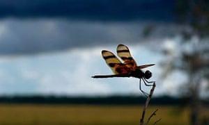 Florida Everglades: dragonfly