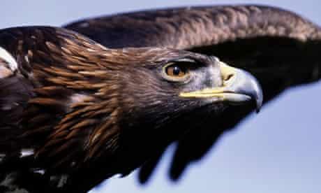 Golden Eagle: Photograph: John Downer/Getty
