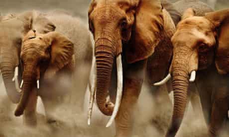Ivory. African elephant herd on the move in Amboseli National Park, Kenya. Photograph: Martin Harvey/AP
