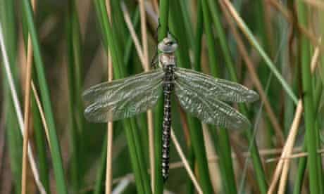 An emperor dragonfly. Photograph: Chris Mattison/Corbis