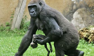 Gorilla mother Gana with her dead baby