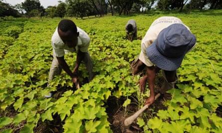 Workers at a jatropha nursery in Dimbokro, Ivory Coast