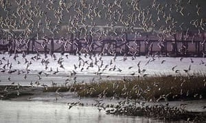 A flock of dunlin over an estuary