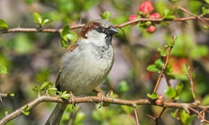 House sparrow in a quince bush in Hampshire