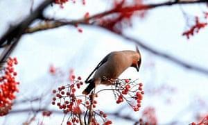 Winter birds: A waxwing
