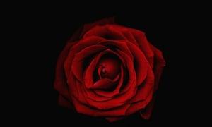 A rose on a black background