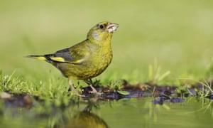 Breeding the Greenfinch - Louboutin Pas Cher