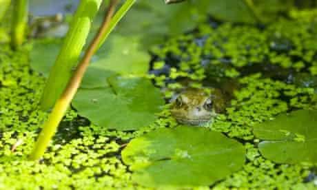 A frog in garden pond