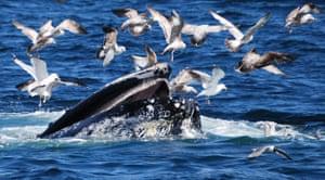 Whale watching: Humpback feeding