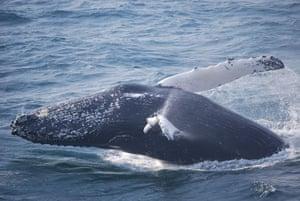Whale watching: Whale breach